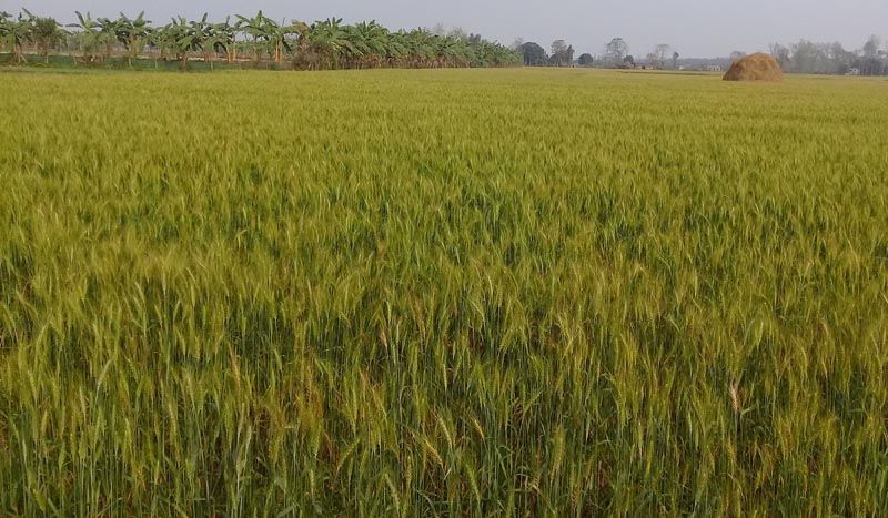 A View of Wheat field in Khairahani Municipality of Chitwan , on 28 February, 2018. Wheat has been planted in 5,520 hectares of land. Photo: RSS