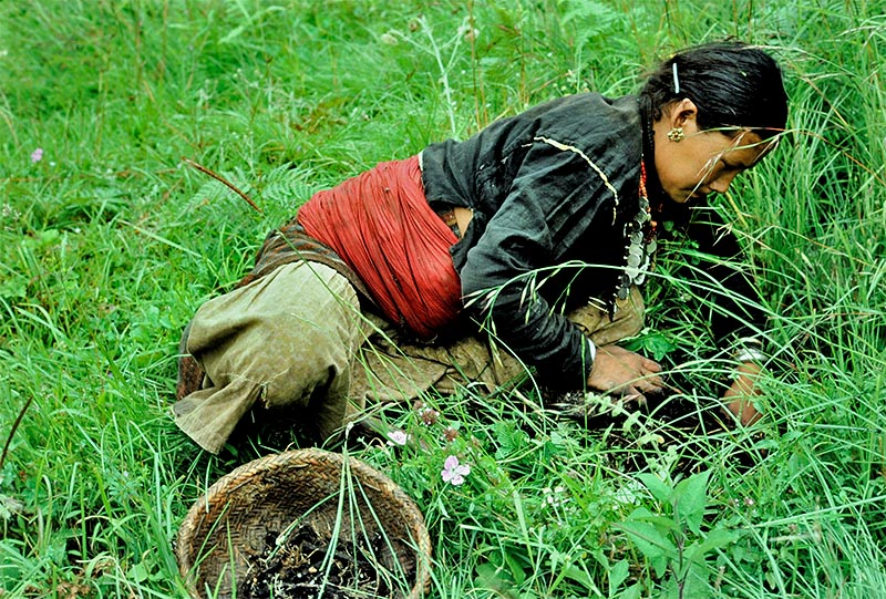A woman is seeing collecting herbs in Khaptad Area of Bajura district. Photo: Tekendra Deuba