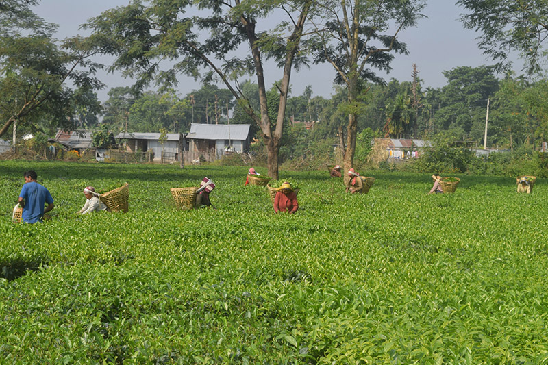 Locals picking tea leaves at a garden in Arjundhara Municipality-2 in Jhapa district, on Thursday, November 23, 2017. Photo: RSS