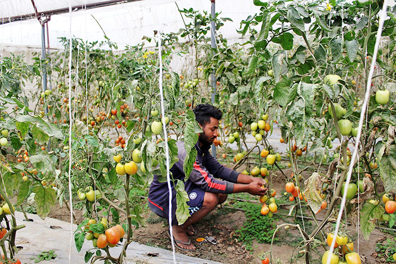 A farmer working at his commercial tomato farm in Malika Rural Municipality in Myagdi district, on Friday, March 02, 2018. Photo: RSS