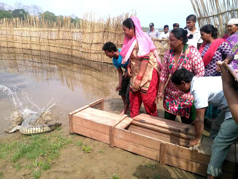 Locals from Majhi, Kumal and Musahar communities residing in Kasara releasing a Ghariyal into the Rapti River, in Chitwan, on Thursday, March 8, 2018. Photo: THT