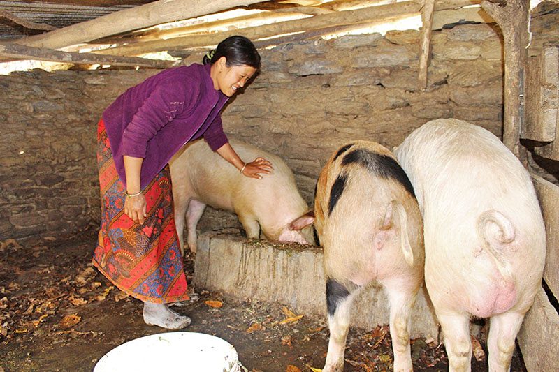 A woman taking care of pigs at her farm in Myagdi district, on Friday, March 02, 2018. Photo: RSS