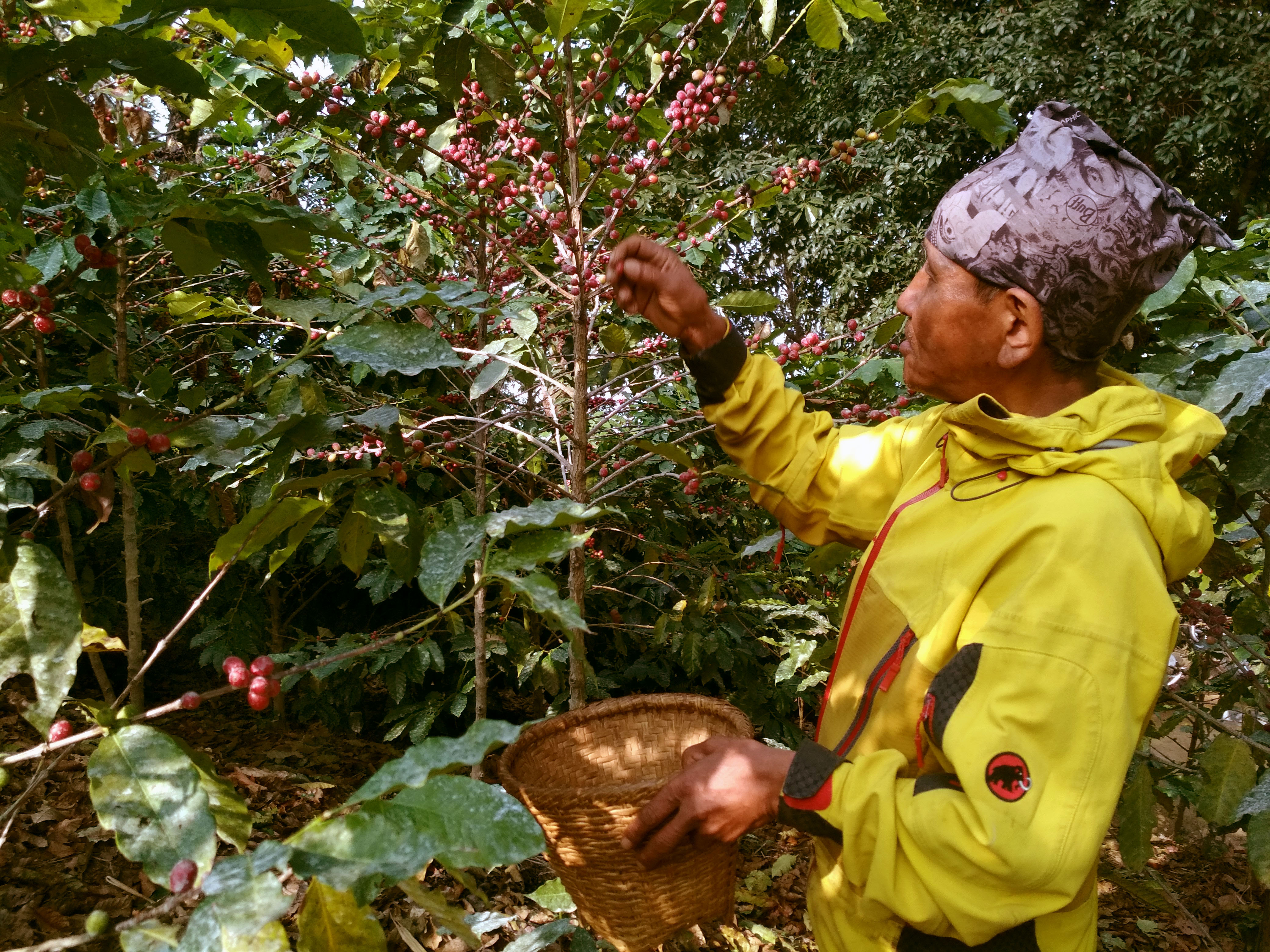 A worker is seen picking beans at coffee farm of Himalayan On-Top Organic Coffee Estate in Dhading. Photo: Keshav Adhikari