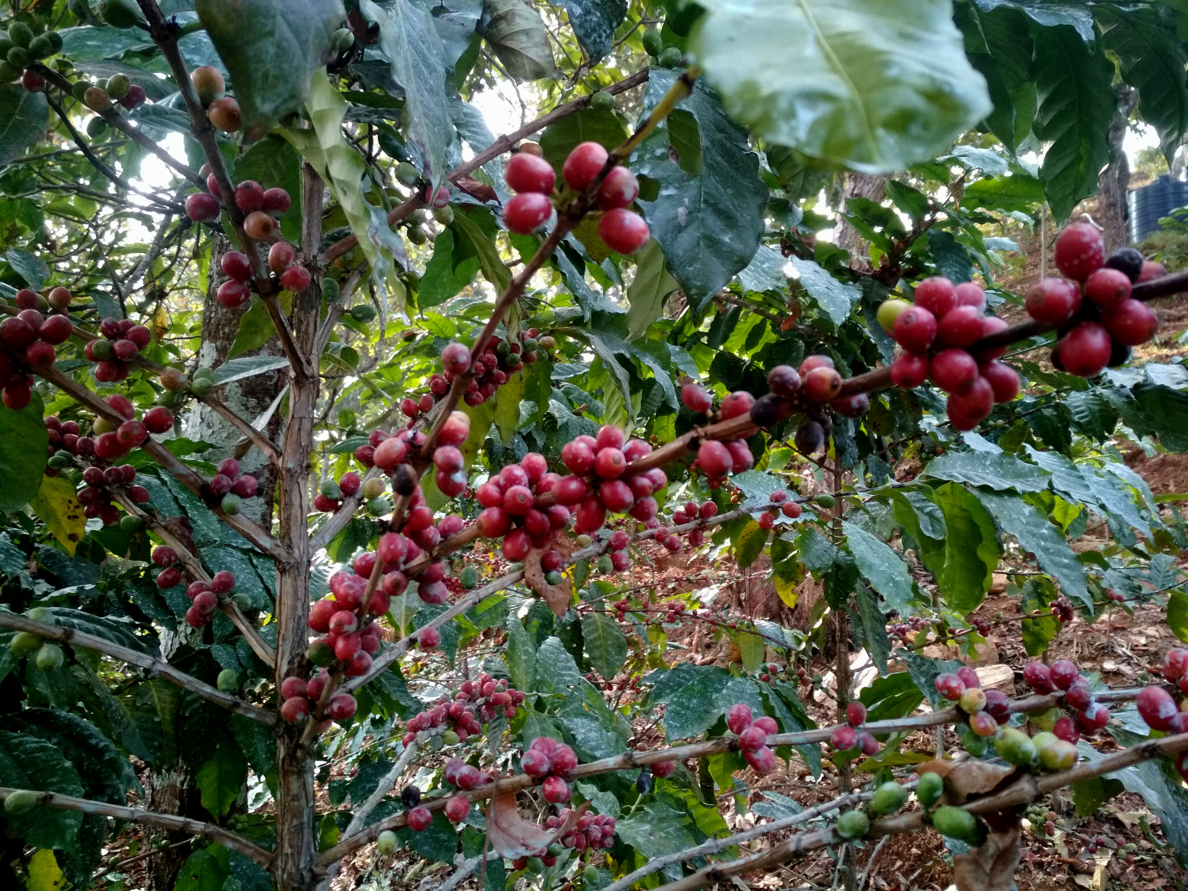 A coffee plant ripe with beans pictured at the farm of Himalayan On-Top Organic Coffee Estate Pvt Ltd in Dhading. Photo: Keshav Adhikari