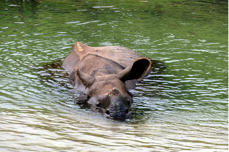 A rare one-horn rhino relaxing in Rapti river at Sauraha, Chitwan district, on Thursday, April 05, 2018. Photo: RSS