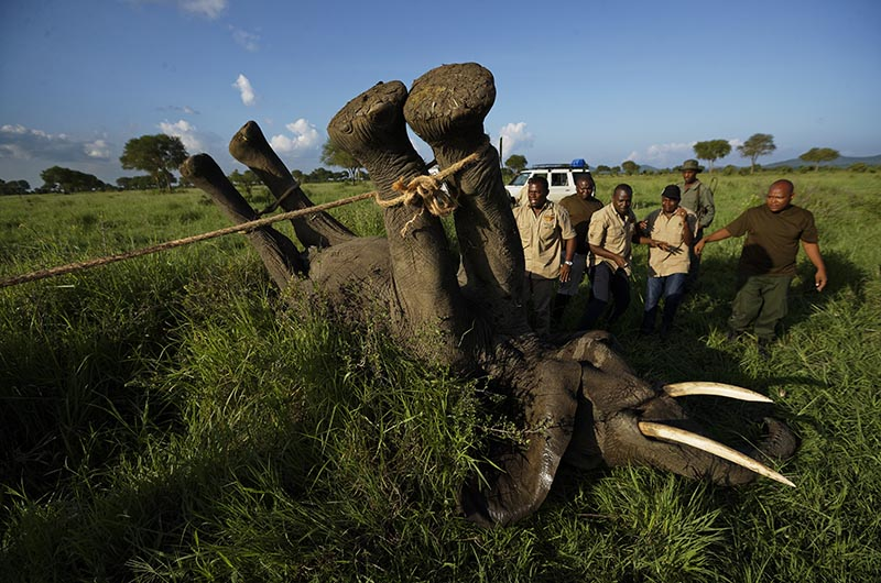 A team of wildlife veterinarians use a 4x4 vehicle and a rope to turn over a tranquilized elephant in order to attach a GPS tracking collar and remove the tranquilizer dart, in Mikumi National Park, Tanzania, on Wednesday, March 21, 2018. Photo: AP