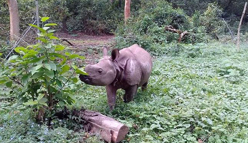 FILE - A rhino calf is seen grazing at Chitwan National Park, which has proposed to send the rhino to China. Photo: RSS
