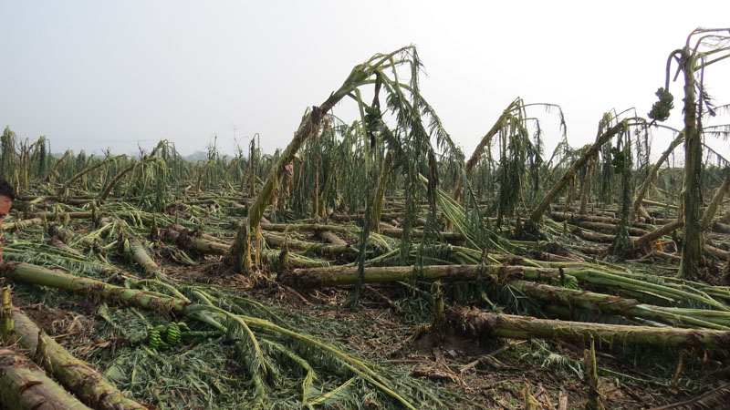 A banana farm devastated by strong winds and hailstones that hit Padarpur,in Kalika Municipality,Chitwan, On Sunday May 6 , 2018.Photo:Tilak Rimal