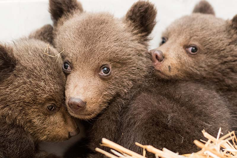 A picture shows three bear cubs who were found by the Bulgarian authorities in the wild and rescued at the Dancing Bears Park near Belitsa, Bulgaria, April 22, 2018. The cubs, who are about 3 months old, will be relocated in the next days to a bear orphan station in Greece. Photo: Hristo Vladev/FOUR PAWS handout via Reuters