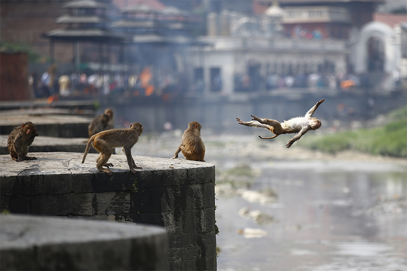 A monkey dives into Bagmati River on a hot day inside Pashupathinath Temple area, in Kathmandu, on Saturday, May 26, 2018. Photo: Skanda Gautam/THT