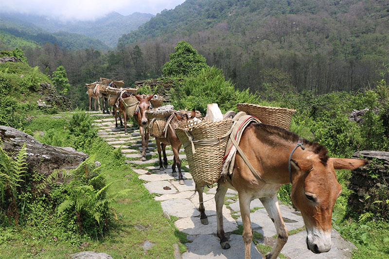 Mules being used to transport construction materials to Ghandruk village in Kaski district, on Wednesday, May 30, 2018. Photo: RSS