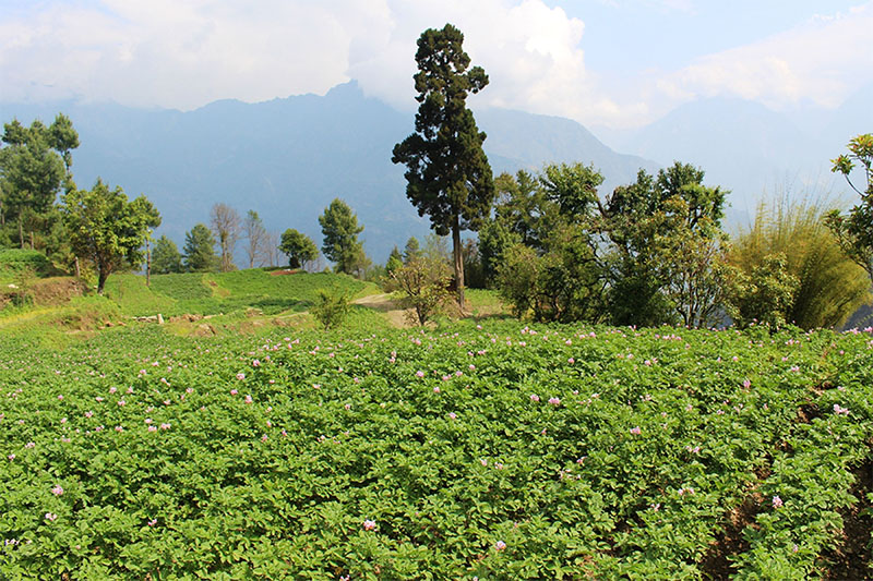 A view of green lush potato farm at Gharamdi in Annapurna Rural Municipality-2 in Myagdi district, on Friday, May 04, 2018. Photo: RSS