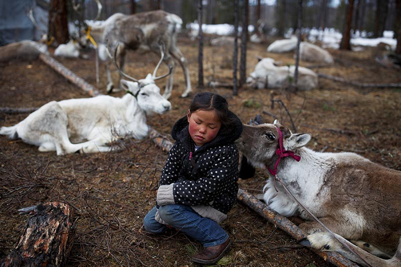 Tsetse, six-year-old daughter of Dukha herder Erdenebat Chuluu, sits among her family's reindeer in a forest near the village of Tsagaannuur, Khovsgol aimag, Mongolia, on April 21, 2018. Photo: Reuters