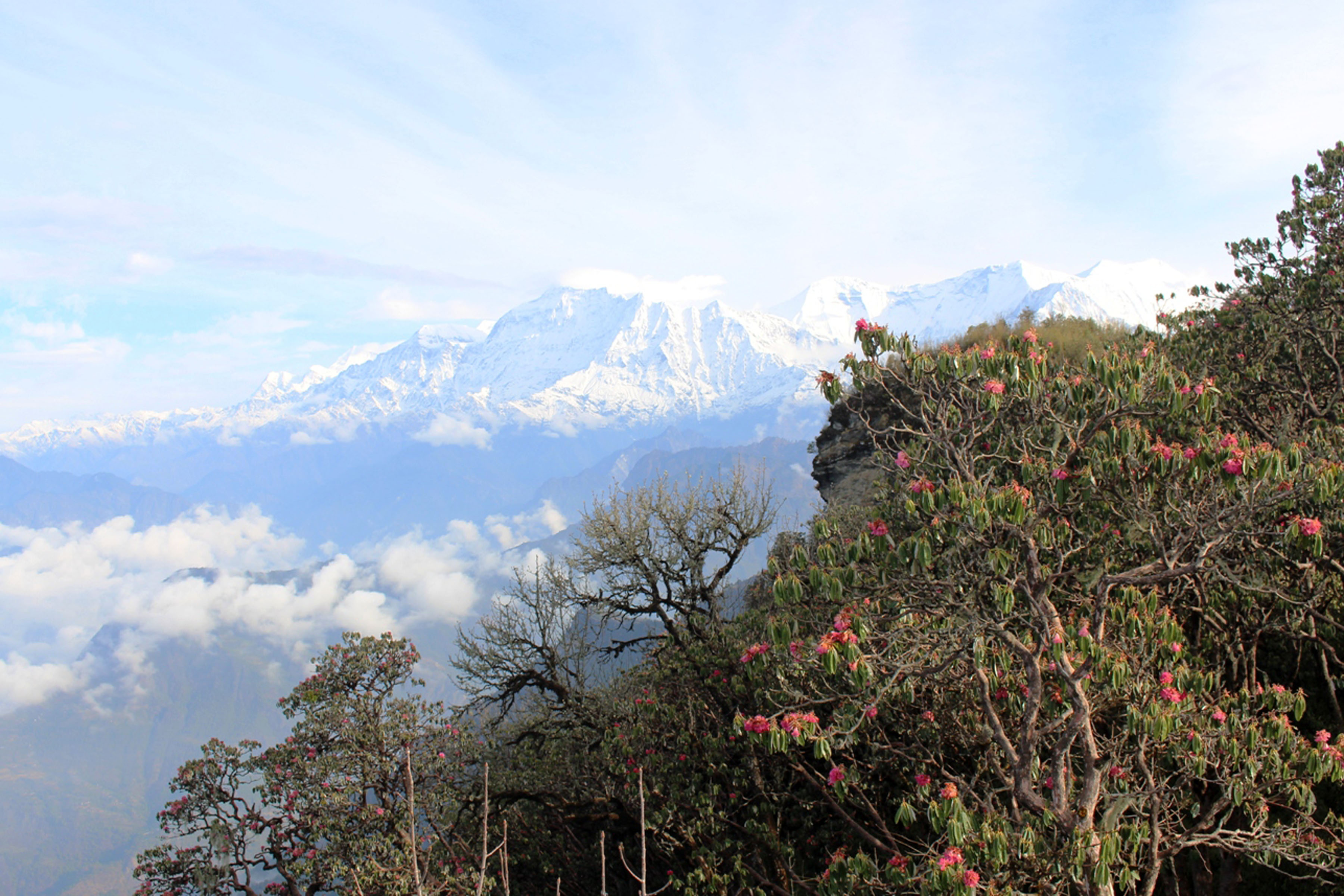Dhaulagiri Mountain as seen from Malika Hill at 3400 metres above sea level in Myagdi . In the fore, Rhododendrons are seen in full blossom. Photo: Santosh Gautam/RSS
