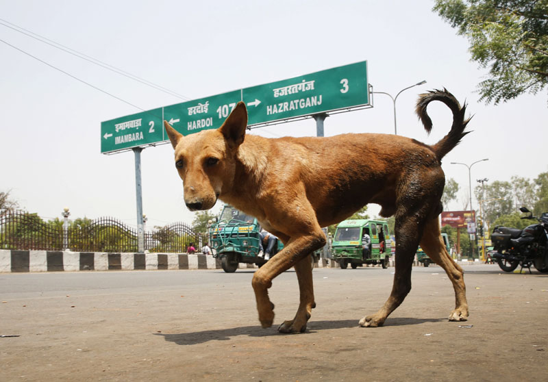 A stray dog walks on a road in Lucknow, in the Indian state of Uttar Pradesh, on Monday, May 7, 2018. Photo: Associated Press