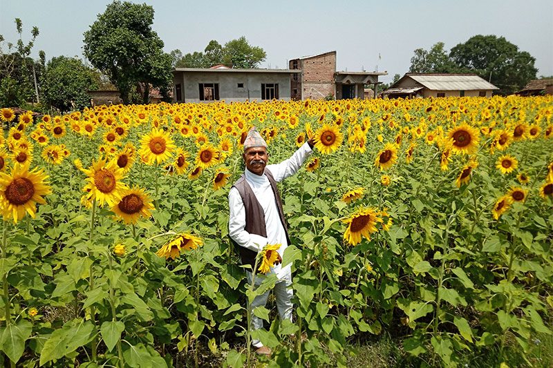 A farmer shows his sunflower farming in Kanchanpur district, on Wednesday, May 16, 2018. Photo: RSS