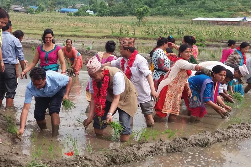 Province 3 Agriculture Minister Dorje Lama planting rice saplings, along with farmers, in Hetauda, on Friday, June 29, 2018. Photo: THT