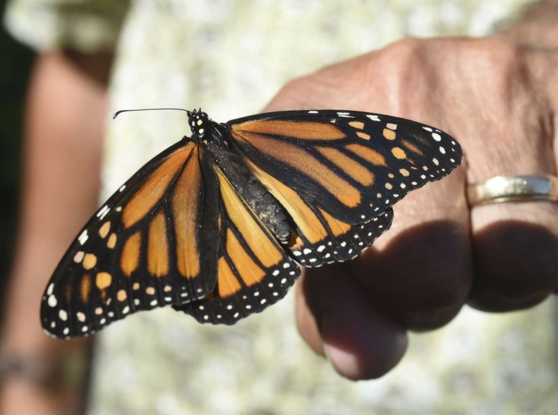 FILE - In this photo, John Miano of Destin, Fla., holds a monarch butterfly on his fingertip as he waits for the newly tagged insect to take flight during the Panhandle Butterfly Houseu2019s Monarch Madness festival in Navarre, Florida on  Oct. 20, 2017. Photo: AP