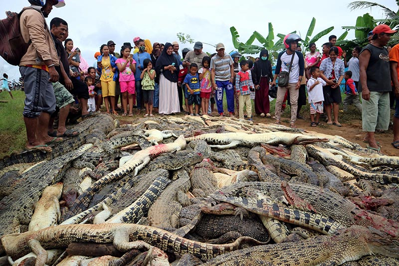 Local residents look at the carcasses of hundreds of crocodiles from a farm after they were killed by angry locals following the death of a man who was killed in a crocodile attack in Sorong regency, West Papua, Indonesia, on July 14, 2018. Photo: Antara Foto/Olha Mulalinda /via Reuters