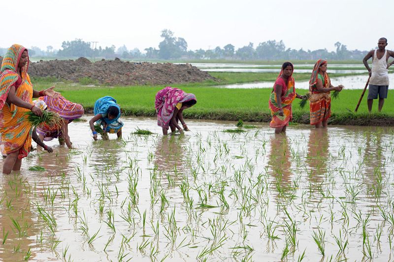 Female workers are seen toiling in a paddy field at Alauhu village in Birgunj. Photo: Ram Sarraf/THT