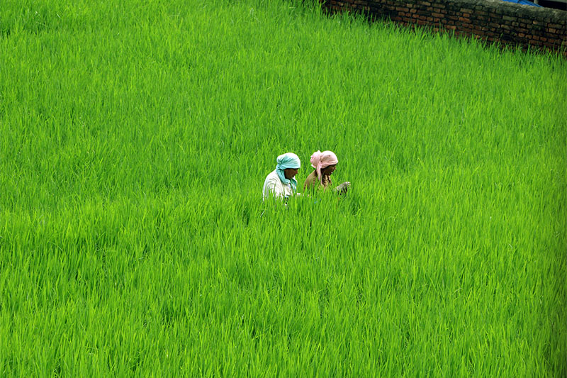 Two women rest after toiling in a paddy field at Thimi in Bhaktapur on Saturday, August 4, 2018. Photo:RSS