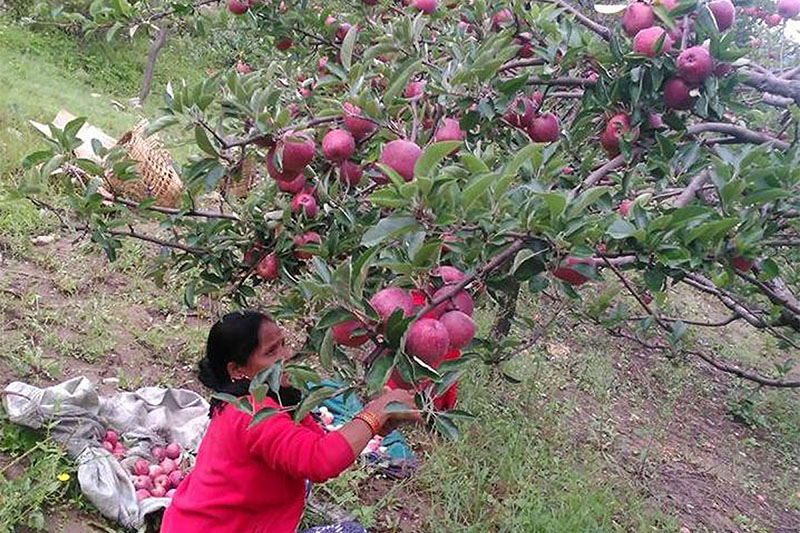 A farmer picks ripe apple from a orchard at Lumsera village in Tila Rural Municipality of Julma district, on Sunday, August 26, 2018. Photo: RSS