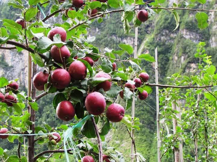 Ripe apples are seen at a farm owned by lawmaker Polden Chopang Gurung on Friday, August 17, 2018.  The farm initiated with an investment of over Rs250 million sells Gala, Golden and Fuji apples. Photo: Ramji Rana/THT