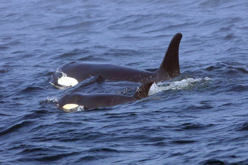 FILE - In this photo, Southern Resident killer whale J50 and her mother, J16, swim off the west coast of Vancouver Island near Port Renfrew, B.C. on  Aug. 7, 2018. Photo: AP