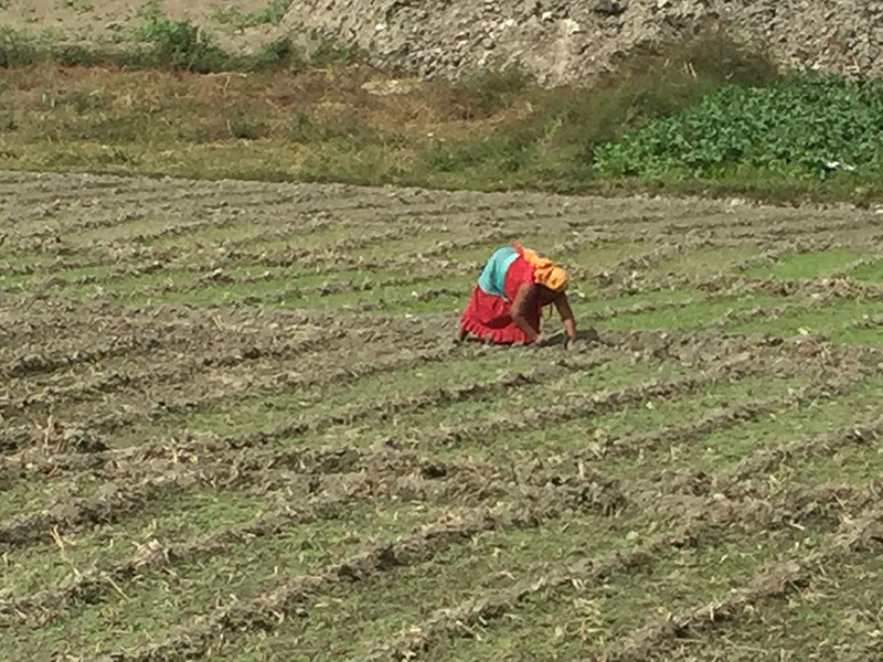 A woman toils to seed new crops and vegetables following the paddy harvest in Kageshwori-Manohara Municipality in Kathmandu, on Tuesday, October 23, 2018. Photo: Prahlad Rijal/THT