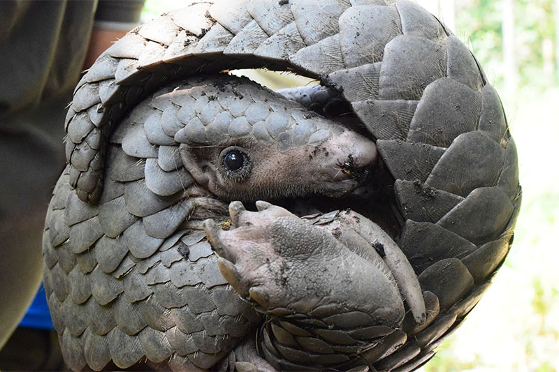 Pangolin, an engangered species, seen in Taplejung district, on Monday, October 01, 2018. Photo: RSS