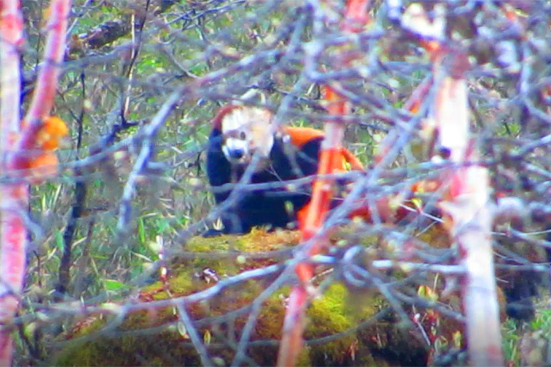 A view of endangered red panda discovered in the jungle of Lekali, in Marsyangdi Rural Municipality of Lamjung district, on Wednesday, October 10, 2018. Photo courtesy: Ganesh Ghimire
