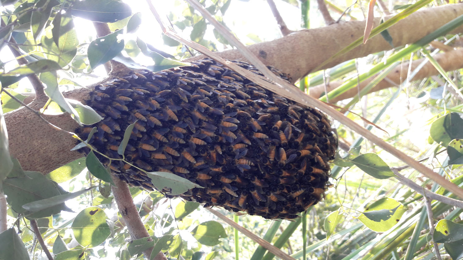 A swarm of wild honey bees of the species Apis dorsata also known as King of honey bees spotted at a forest in Chure region, in Kanchanpur district, on Monday, October 22, 2018. Photo: RSS