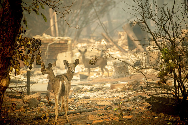 FILE - In this Saturday, November 10, 2018 photo, deers walk past a destroyed home on Orrin Lane after the wildfire burned through Paradise, California. Most homes are gone, as are hundreds of shops and other buildings. The town quite literally went up in smoke and flames in the deadliest, most destructive wildfire in California history. Photo: AP
