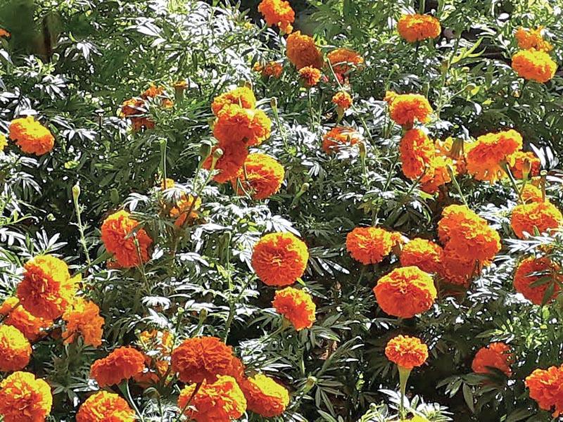 Marigold in full bloom in a field, in Kaski, on Thursday, November 1, 2018. Photo: THT
