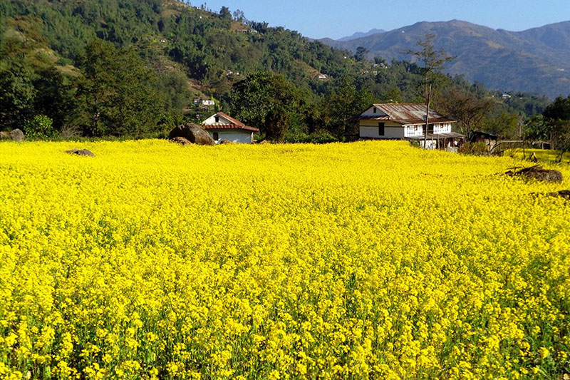 A spectacular view of mustard filed in Ilam district, on Friday, November 23, 2018. Photo: RSS