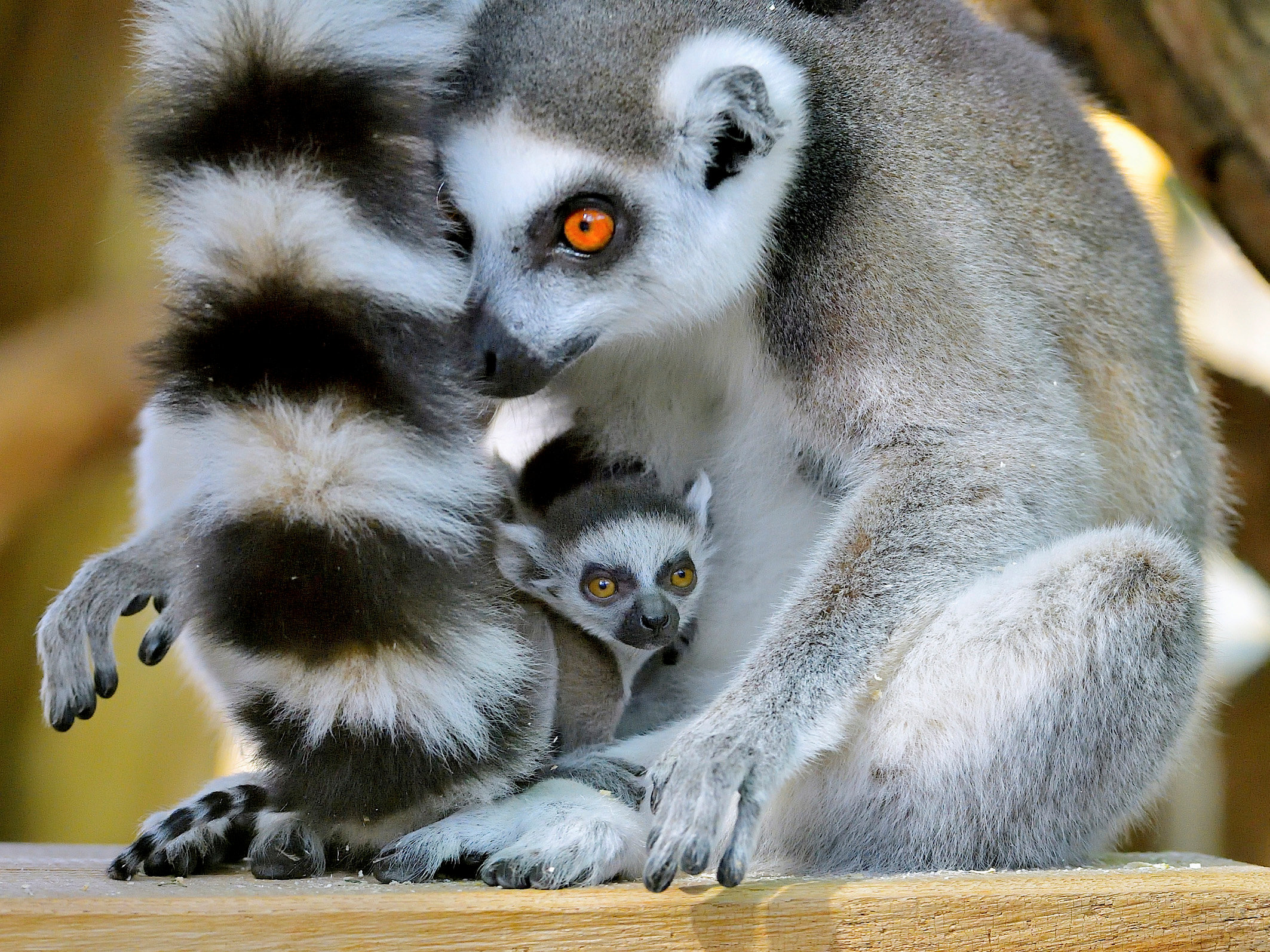 A Lemur catta cub, which was born on March 18, 2017, is seen with its mother in this handout photograph dated March 20, 2017, released on March 22, 2017, at Schoenbrunn Zoo in Vienna, Austria.REUTERS
