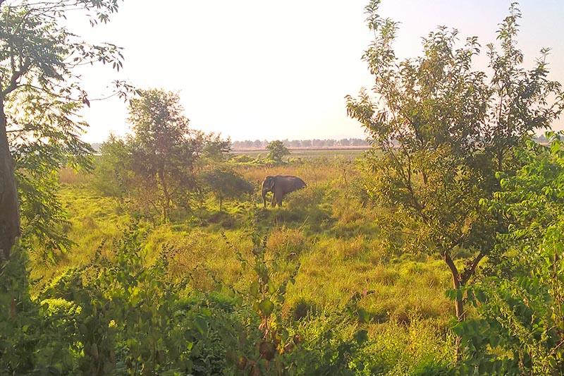 File - A wild elephant foraging in Koshi Tappu Wildlife Reserve, in Saptari district, on Thursday, November 17, 2016. Photo: Suresh Chaudhary/THT