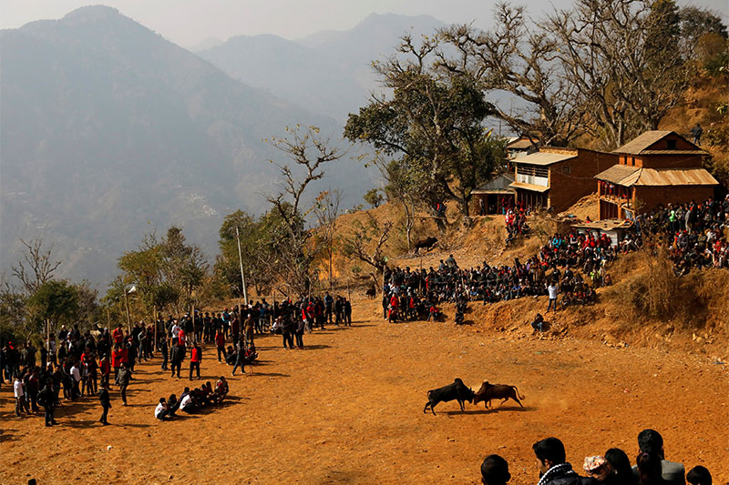 Villagers watch a bull fight during the Maghesangranti festival, which commemorates the start of the holy month of Magh, ushering in the coming of warmer weather and longer days, at Talukachandani village in Nuwakot district near Kathmandu, Nepal January 15, 2019. Photo: Reuters
