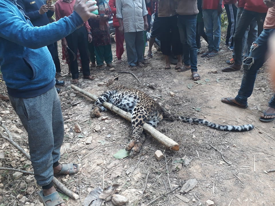 Locals gather around to observe motionless man-eating leopard in Tanahun on Sunday, January 13, 2018. Photo: Ramji Rana