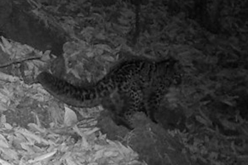 A marbled cat spotted in Panchthar district. Courtesy: Red Panda Network