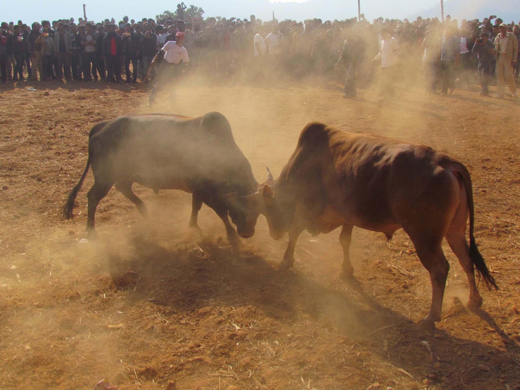 Bulls lock horns in a intense clash in the annual Maghe Sakranti Bullfighting Festival in Taruka of Nuwakot District on January 14, 2019. Photo:RSS