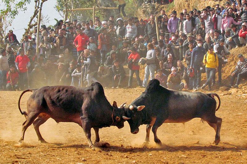 People observe bull fight during Maghe Sankranti at Taruka in Nuwakot district, on Tuesday, January 19, 2019. Photo: Skanda Gautam/THT