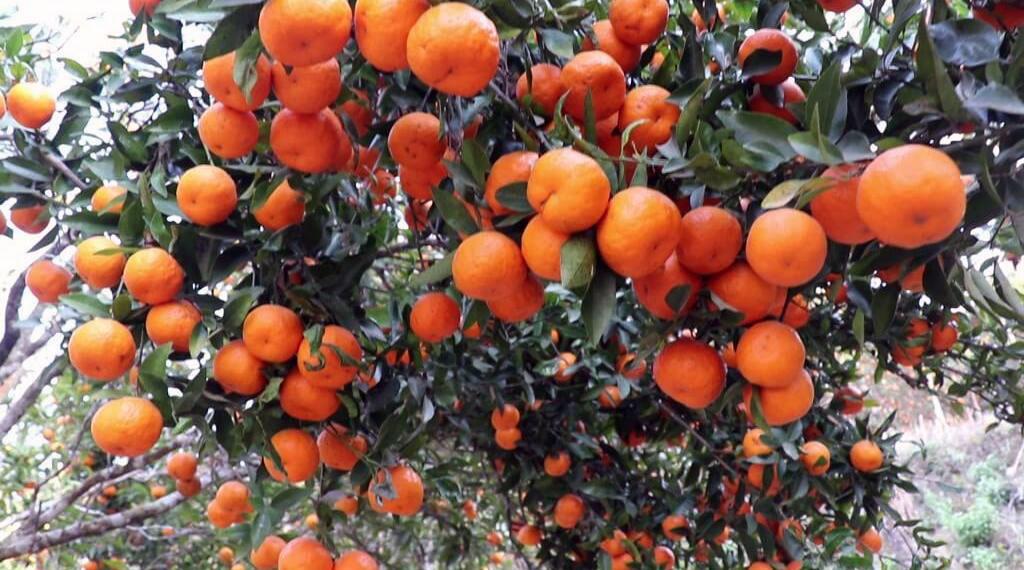 Ripe oranges seen at Dhading. Photo: Keshav Adhikari/THT