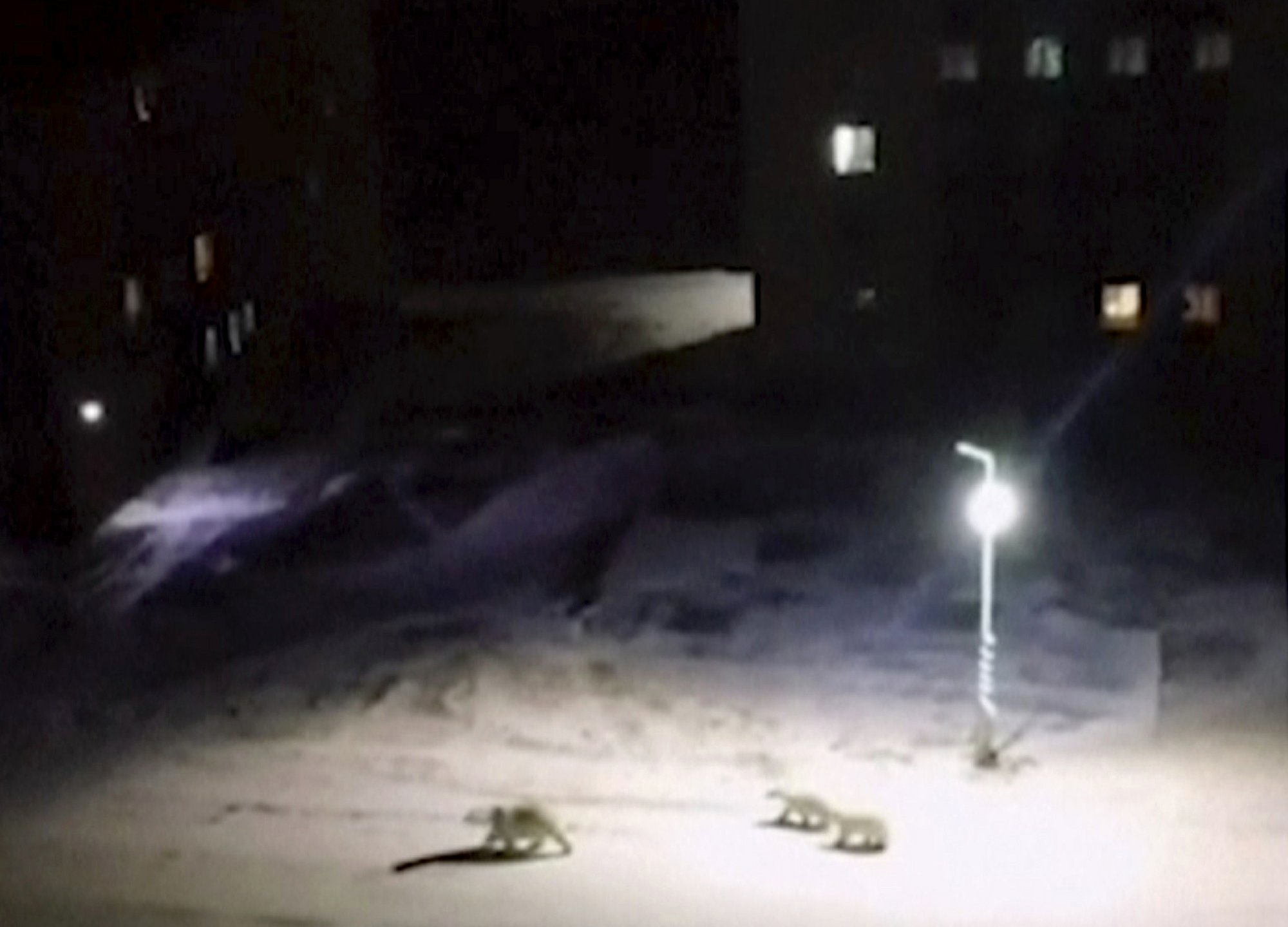 In this image taken from video, a mother polar polar bear and two cubs walk across the courtyard of a residential block, on Monday, Feb. 11, 2019, in Belushya Guba, Novaya Zemlya, Russia. Photo: AP