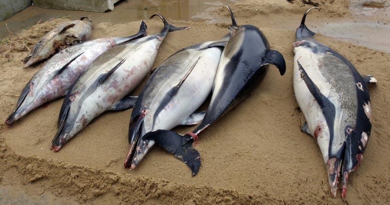 This photo taken on March 7, 2019 and provided by the Observatoire Pelagis shows dead dolphins on a shore of La Tranche sur Mer, on the Atlantic coast, western France. Photo: Cecile Dars, Observatoire Pelagis/CNRS/Universite de la Rochelle via AP