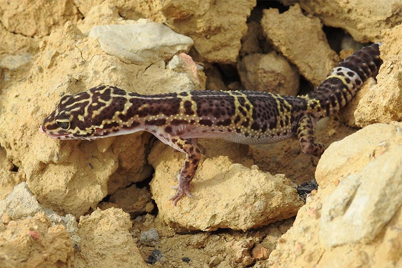 This image shows a common leopard gecko, one of the species of lizard found for the first time in Kamdi Corridor in Banke district, on Tuesday, March 26, 2019. Photo: National Trust for Nature Conservation via RSS