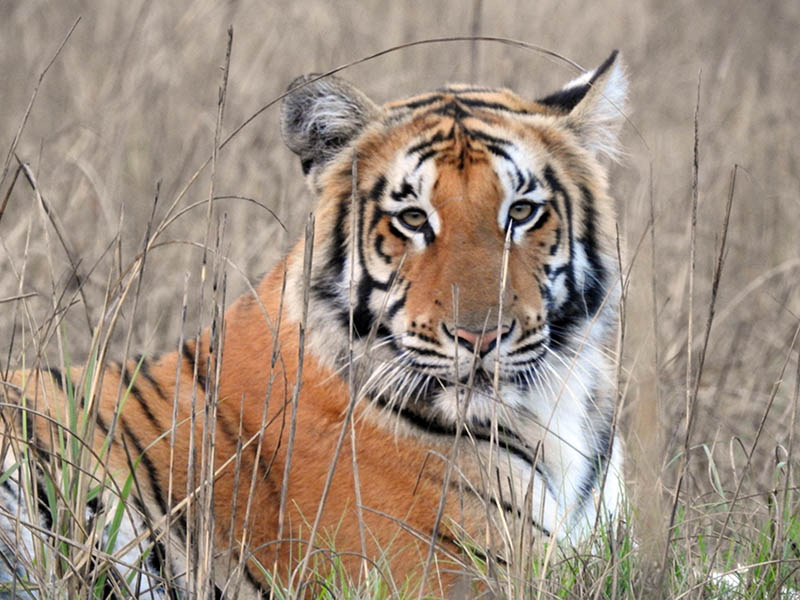 A Royal Bengal Tiger, also known as Pate Bagh, spotted at Suklaphanta National Park in Kanchanpur district, on Tuesday, March 05, 2019. Photo: RSS