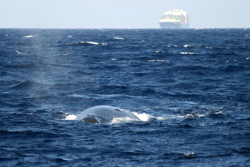 A blue whale swims in Sri Lanka as a container ship appears in the background on March 4, 2014. Photo: Tim Lewis/International Fund for Animal Welfare via AP
