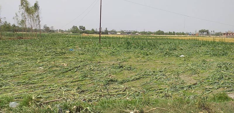Crops destroyed by the rainstorm. Photo: Prakash Dahal/ THT