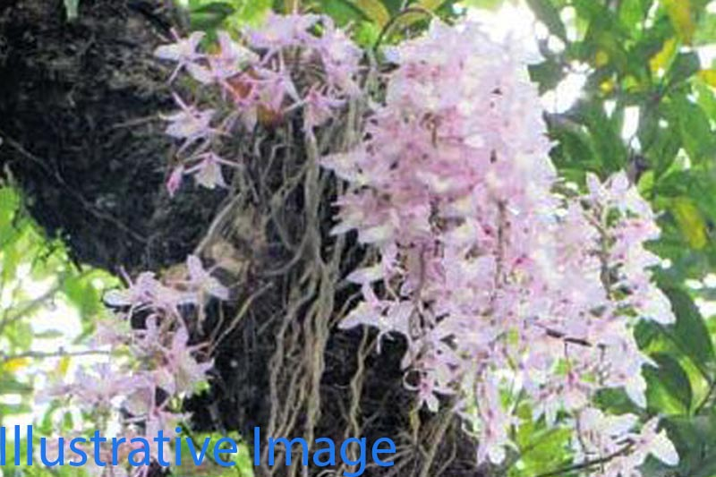 An orchid flower blossoms at a tree in Siraha district, on Thursday, April 13, 2017. Photo: RSS